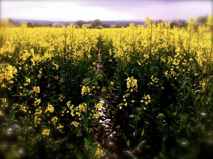 Fields of gold outside Besigheim, Germany